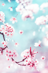Natural spring and summer background. Delicate white and pink cherry flowers in the spring garden.