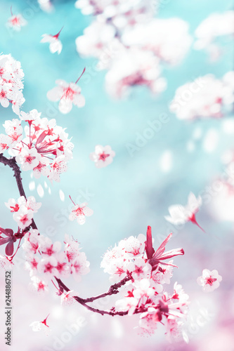 Natural spring and summer background. Delicate white and pink cherry flowers in the spring garden. - 244886752