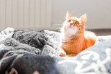 Fototapeta Koty - Cute ginger cat lying in bed. Fluffy pet with sleepy expression on face. © Konstantin Aksenov