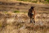 A wild Exmoor Pony, seen on Porlock Hill in Somerset, England, UK - 244906317