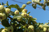 Apple tree with a ripened green apples. Young apples growing in a tree.