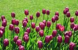 Fototapeta Tulipany - Blühende Tulpen im Frühling © Janina Dierks