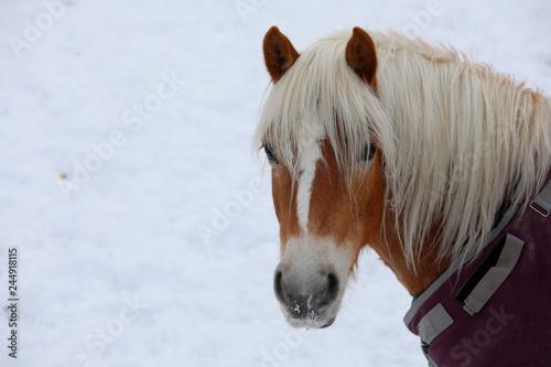 Haflinger Pferd im Schnee