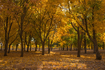 Autumn landscape. Forest at dawn. Plantations of maple trees. Trees threw off foliage. Shadows on the ground.