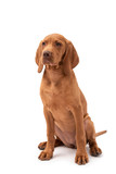a red Hungarian vizsla dog isolated on white background