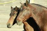 Fototapeta Horses - Końska przyjaźń © Fundacja Centaurus