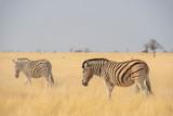 Fototapeta Fototapeta z zebrą - Zebras in Etosha - Namibia. © Danny