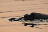 Fototapeta Sawanna - hipopotam wystawiający czubek głowy z wody o zachodzie słońca © Jan