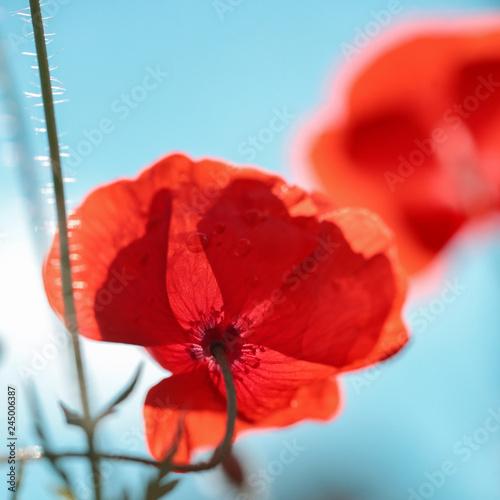 Red poppy - 245006387