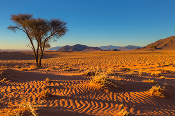 Camel thorn tree and dry grass in the sand