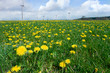 Field of spring dandelions with wind turbines