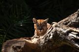 The cougar (Puma concolor) portrait.