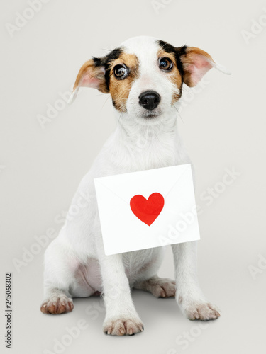 Adorable Jack Russell Retriever puppy with a love letter - 245068302