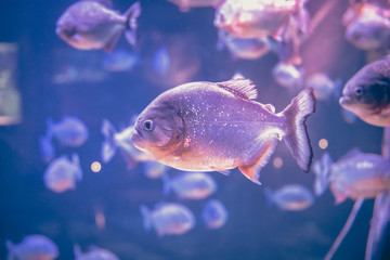 Piranha freshwater fish underwater purple pink background