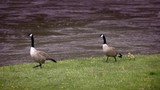 Yellowstone National Park - Two geese with baby chick walk through a green meadow next to a river in springtime. Yellow flowers in the grass. - 245086110