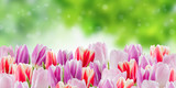 Fototapeta Tulipany - Nature background with tulip flowers © firewings