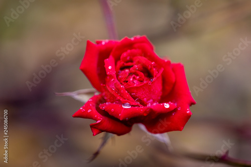 Close up view of a red rose with a rain drops on petals on a blurred background - 245086700