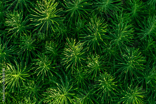 Green decorative plant grass, background, texture. Euphorbia cyparissias ornamental perennial in landscape design garden or park Abstract pattern Top view © IRINA