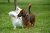 dachshund and chihuahua play on the grass