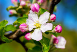 Flower of apple and buds in sunny weather close up_