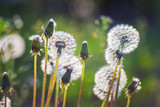 Fototapeta Fototapeta z dmuchawcami - Furry dandelions in the meadow in the period of maturation of the seeds_ © Volodymyr