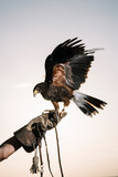 Cute hawk perched on his hand trainer - 245143996