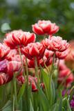 Fototapeta Tulipany - Tulips © Gioia