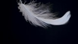 white feather sways on a black background - 245148786