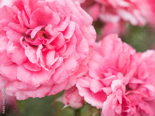 Pink roses in the garden. Pink roses close-up. Beautiful blossoming roses in a rosary park. Spring blooming flowers, Flowers on the blurred background. - 245162336