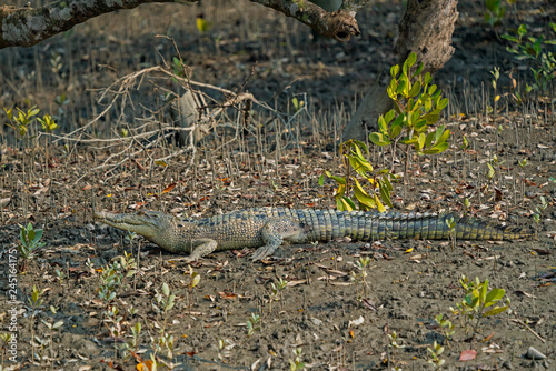 A small crocodile among fallen leaves on the shore in Sundarbans in India