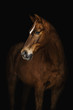 Portrait of a Trakehner horse on a black background