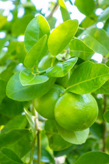 Group of green lime hanging from branch on tree