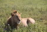 młody lew afrykański leżący w trawie na parku serengeti