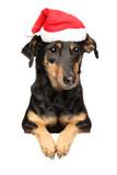 Dachshund in Santa red hat above banner