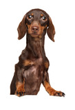 Brown Dachshund puppy above banner