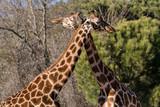 Abrazo entre jirafas