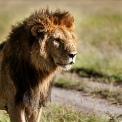 lion in the Masai Mara