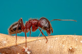 Beautiful Strong jaws of red ant close-up