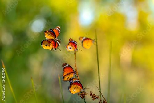 Closeup   beautiful butterflies sitting on flower - 245205702