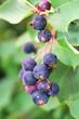A cluster of ripe saskatoon berries hanging in summer