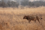 The male lion (Panthera leo) walking in the beautiful south african savanna in the morning