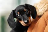 cute black tan puppy rabbit dachshund on a blue background