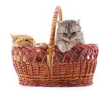 Fototapeta Koty - Cats in a basket. © voren1