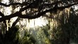 Spanish moss hanging from live oak tree branches