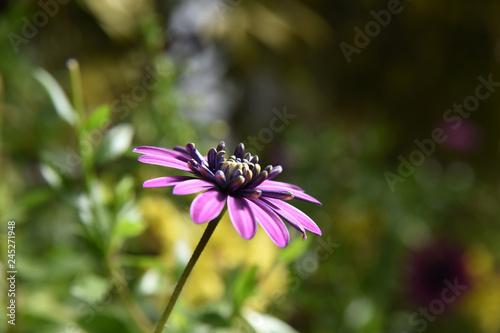 blooming purple flower - 245271948