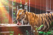 The tiger  eating a piece of meat in the cage with the orange light  background