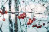 Fruits of Apple trees, Ranetki covered with snow and frost in frosty morning.