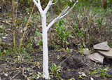 Whitewashing fruit apple tree. Painting tree bark in white color.