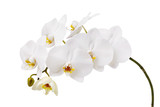 An isolated branch of a beautiful white orchid having a yellow color at the lower petals