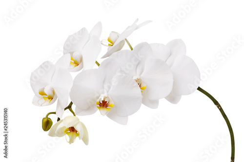 An isolated branch of a beautiful white orchid having a yellow color at the lower petals - 245315140